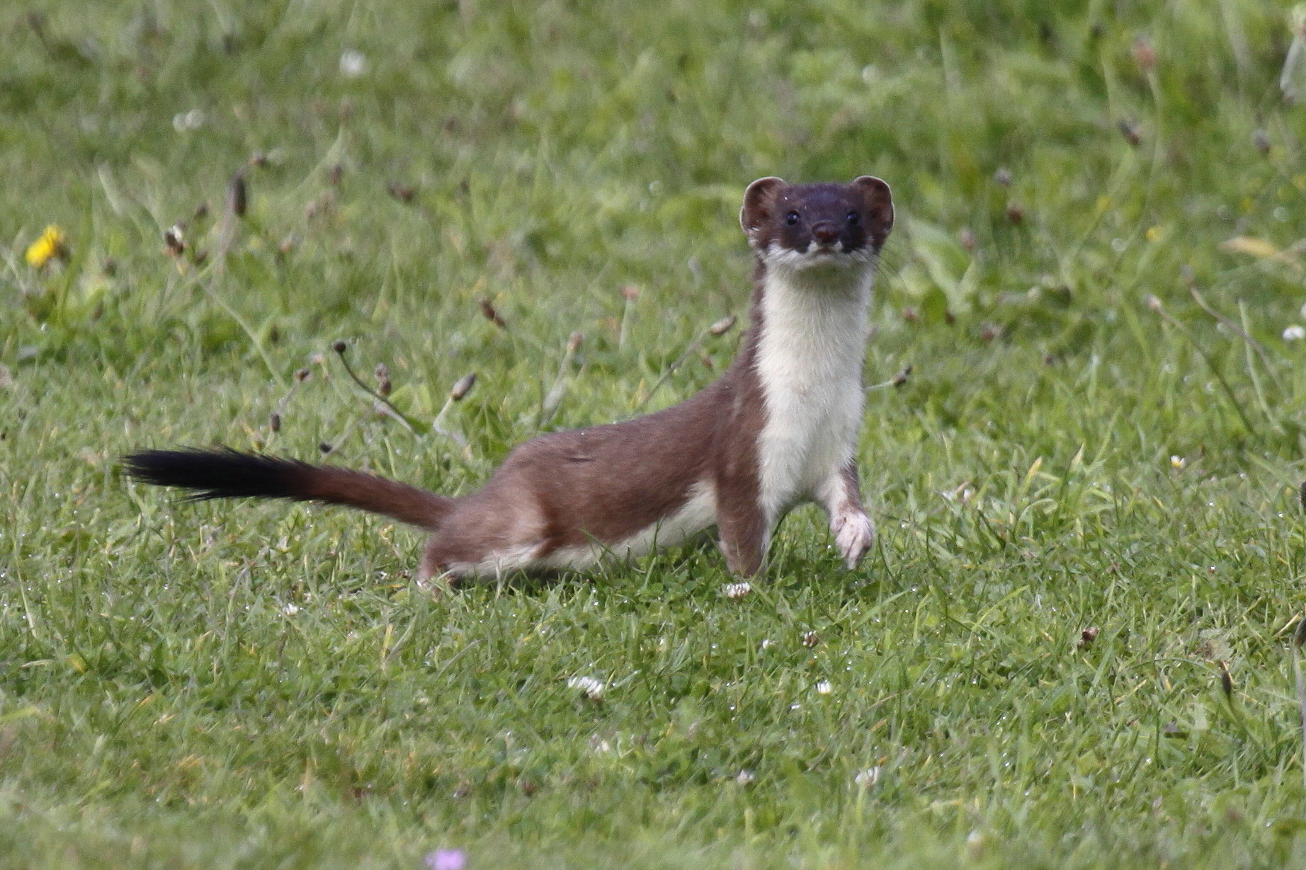 how to catch a stoat