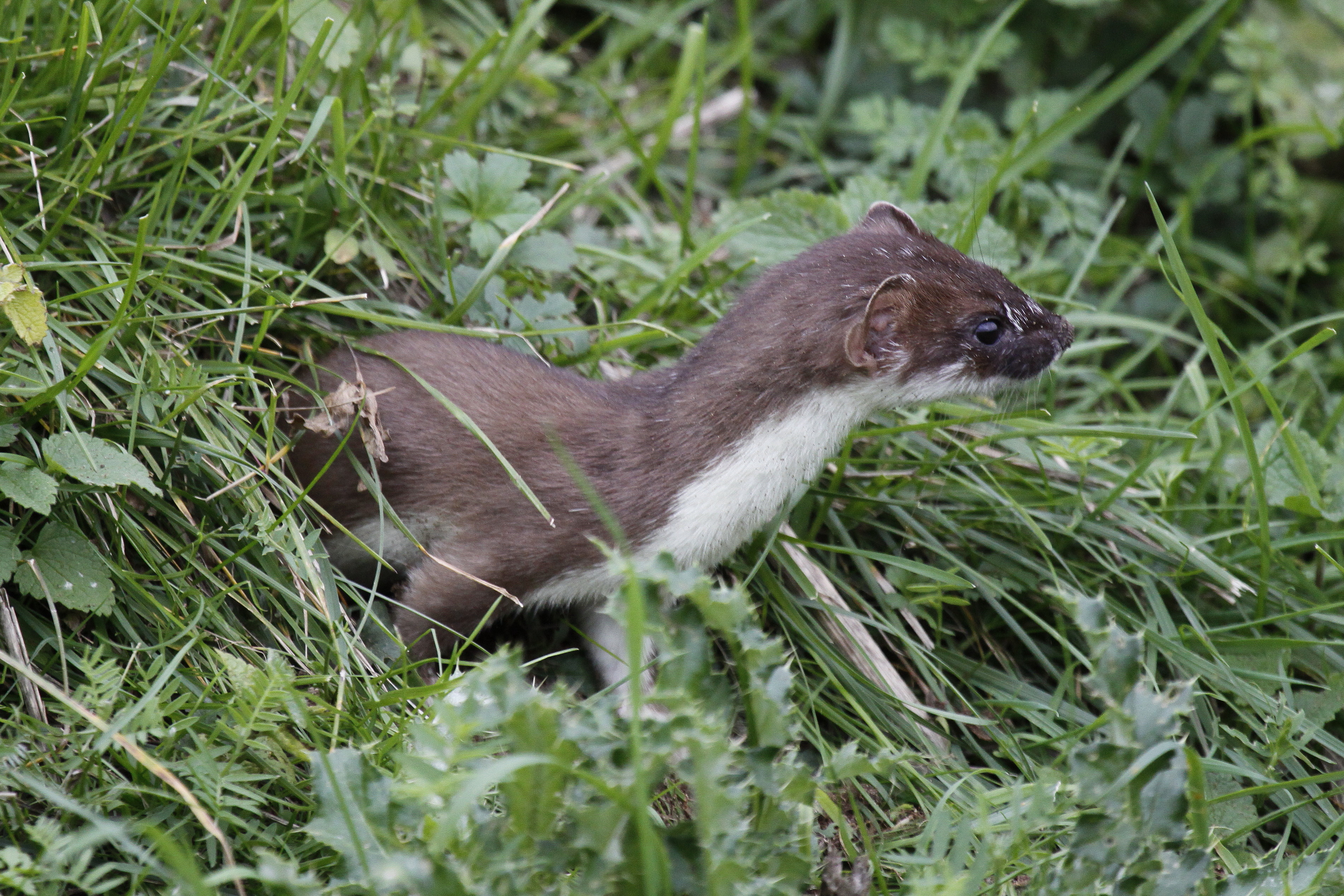 stoats